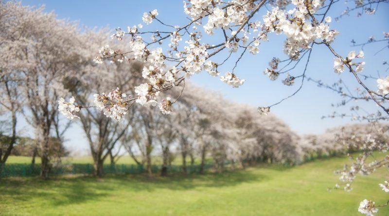 korea, cherry, flowers